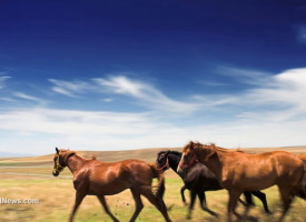 Horse slaughter in America: Feds illegally rounded up thousands of wild horses and handed them over to be destroyed for profit