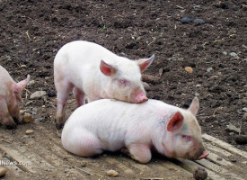 SICK: Chinese biotech company to start selling genetically modified miniature pigs as pets